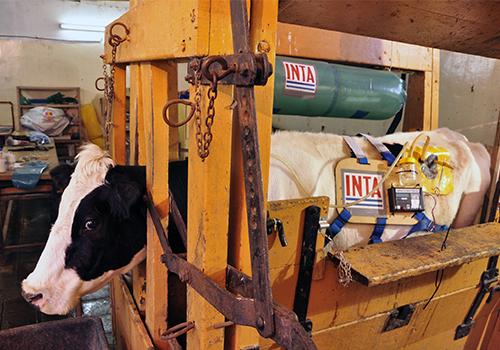 vaca inta 2