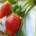 Sistema para aumentar un 30 por ciento la produccion de frutillas