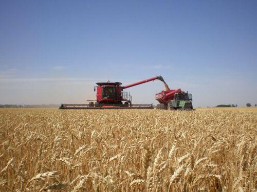 cosecha de trigo 1
