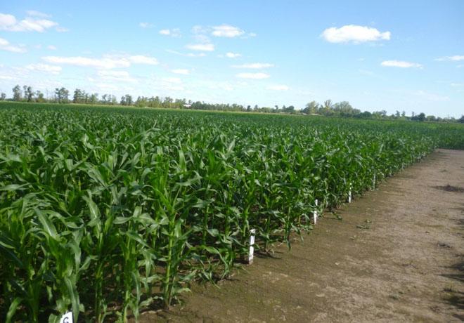 Con 15 Mt el maíz será record en la región núcleo.