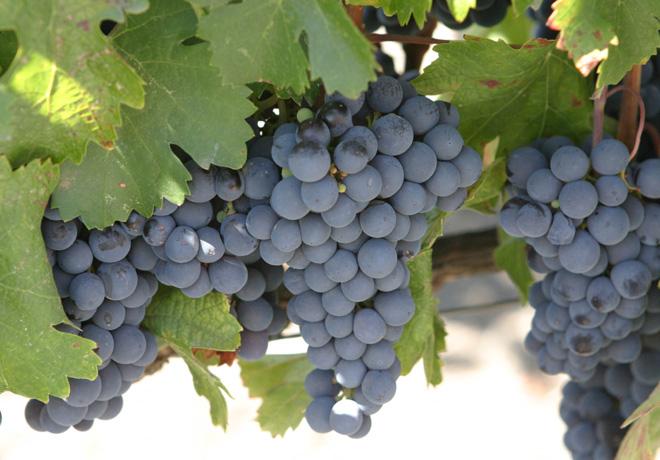 Malbec uvas