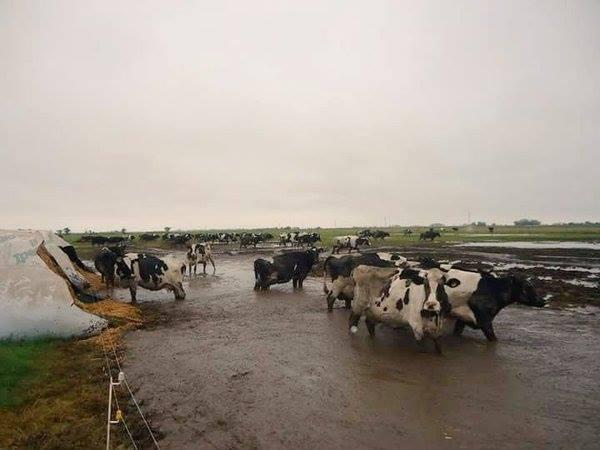 Inundaciones: cómo manejar el ganado y reducir el impacto.