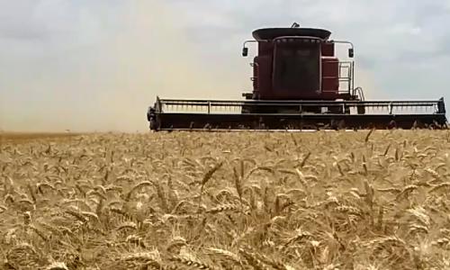 En el sudeste bonaerense los rindes de trigo van de 4000 a 6000 kilos.