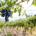 Agroindustria - Vitivinicultura