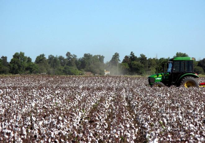 Se intensifica la lucha contra el picudo del algodon 2