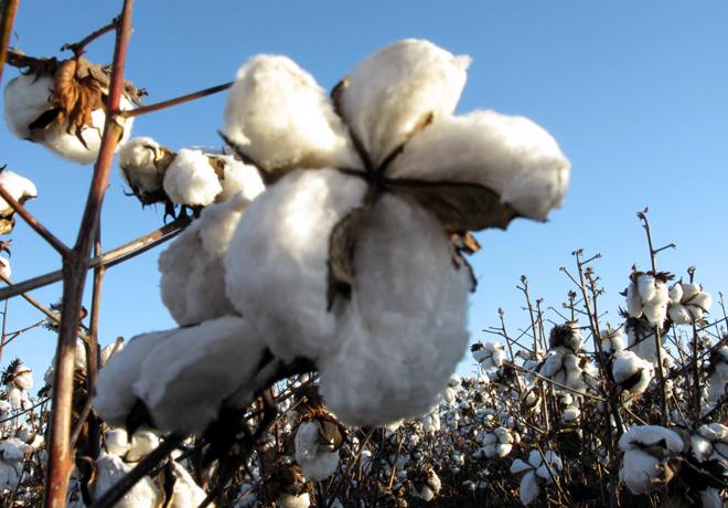 Se intensifica la lucha contra el picudo del algodon 3