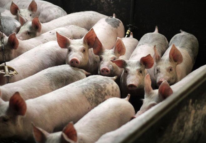 Fiebre aftosa: Nueva técnica evalúa la eficacia de la vacuna en cerdos.