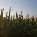 Cultivos. Mejoramiento genético