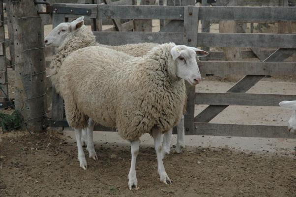Peligra la comercialización de lana en Argentina.