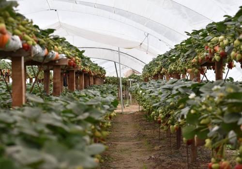 Plantación de frutilla