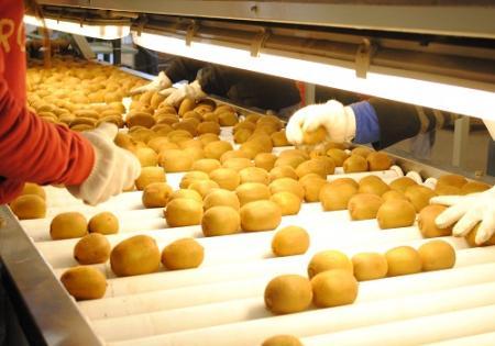 Por primera vez, la Argentina exporta kiwi amarillo orgánico a Europa.
