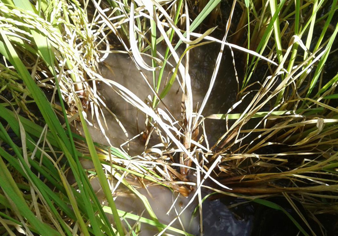 Como detener el avance del Entorchamiento del arroz