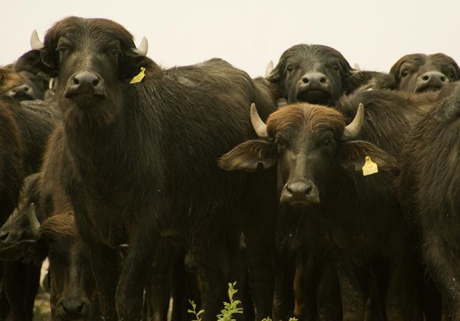 Descubren un virus de bufalos que contagia a vacas