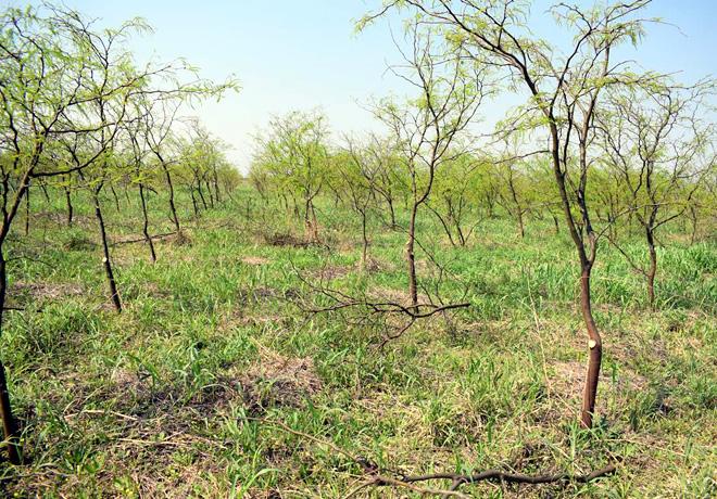 Algarrobo blanco: pautas para obtener una madera de mejor calidad.