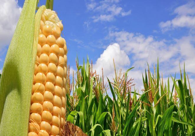 Bolsa de Cereales de Bahía Blanca: Estado de cultivos de Gruesa.