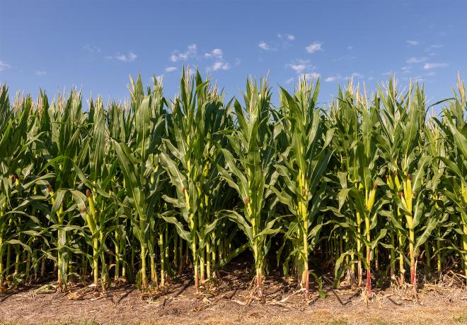 Bayer y Nitragin, dos gigantes unidas detrás de la última tecnología en maíz.
