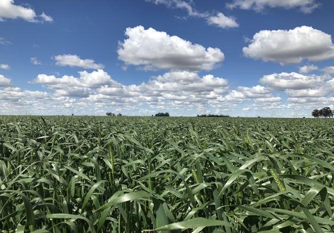 Nidera Semillas lanzó su campaña de trigo 2021.