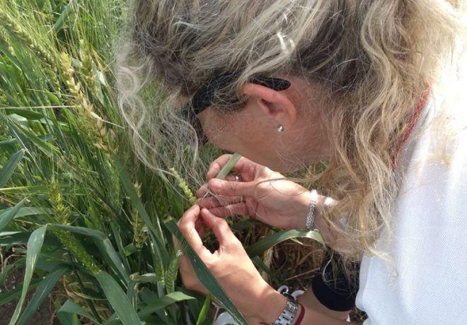 Aplican tecnología para obtener líneas de trigo más competitivos.
