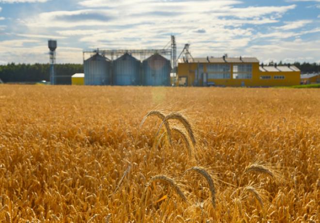 El trigo sigue cayendo: Argentina pierde otras 300 mil toneladas.