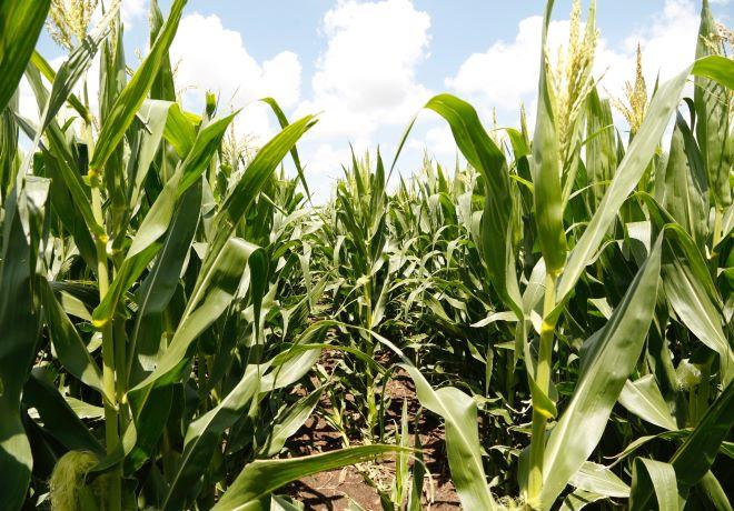 Lanzan un maíz que tiene todo para el manejo de plagas y malezas.